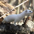 The least weasel