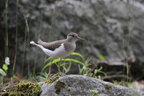 The common sandpiper