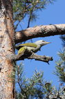 The grey-headed woodpecker