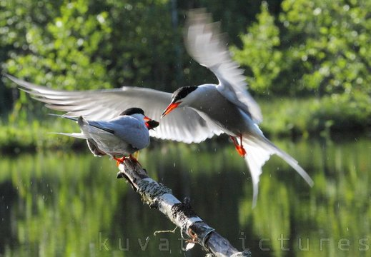 The common tern