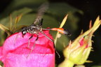 The red-banded sand wasp