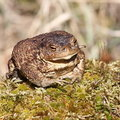 The common toad