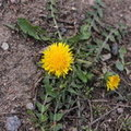 A common dandelion