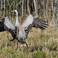 The common crane