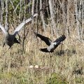 The common crane and the hooded crow
