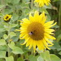 A sunflower and a bumblebee