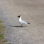 The black-headed gull