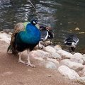 A peafowl and red-breasted geese