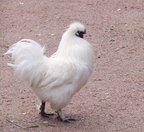 The Silkie