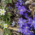 The windflower and the common hepatica