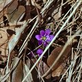 The common hepatica