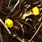 The coltsfoot
