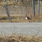 The northern lapwing