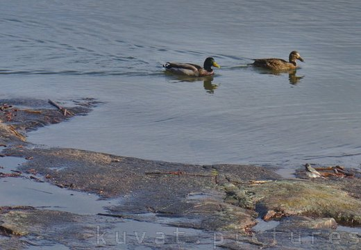 Mallards and white wagtail