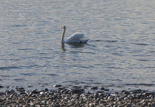 The mute swan