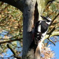Great spotted woodpecker female