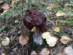 Hooded false morel